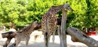 animales-jirafa-01