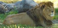 animales-leon-01