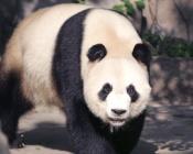 animales-panda-01